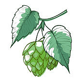 Hops branch with leaves, cones. Green humulus plant for beer, stout, ale, lager, bitter labels, packaging.