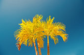 Palm trees with yellow leaves in Philipsburg, Sint Maarten
