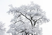 Tree covered with white frost on foggy sky