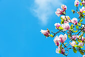 Magnolia tree in blossom on blue sky