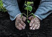 cropped female elderly hands plant a young plant of tomato seedlings in the ground. Concept, gardening, protection of young plants
