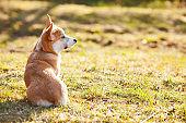 Cute corgi dog sitting on the grass.