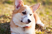 Corgi dog portrait.