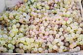 Heap of fresh ripe organic yellow white  grapes displayed for sale at a street food market, top view or flat lay of tasty healthy food photographed with soft focus