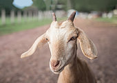 brown head of happy goat in agriculture farm
