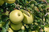 Close up of ripe green apples in the garden