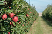 Perspective view on apple trees with red apples