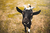 Young goat kid with small horns, looking into camera, blurred farm in background