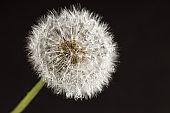 Dandelion macro photography on  black
