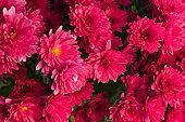 red chrysanthemum texture background