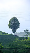 A tea field on the slope