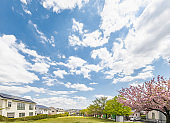 Cherry blossoms in full bloom in a residential area