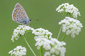 The common Blue butterfly on flower (Polyommatus icarus)