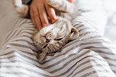 Playful and happy kitten.Portrait of cute grey cat.Scottish cat.