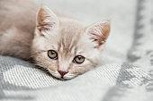 Portrait of cute kitten slipping.Scottish cat.Close-up view