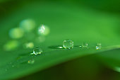 Water drops on a lily of the valley leaf in a forest