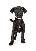 Black Puppy Pink Collar Looking Up