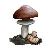 Suillus luteus, slippery jack or sticky bun mushroom closeup digital art illustration. Boletus has chestnut colored cap. Mushrooming season, plant of gathering plants growing in woods and forests