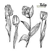 Spring flower bouquet of tulips on white background. Engraving drawing style Realistic botanical nature floral sketch pattern.