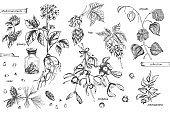 Set vintage hand drawn sketch medicine herbs elements isolated on white background. Cedar, mistletoe, hop, physalis, ashwagandha, ginseng. Vector illustration art.