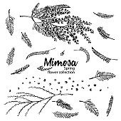 Set of hand-drawn sketch elements for branches of mimosa flower in yellow and green color. A good idea for your design poster, greeting card, web banner.