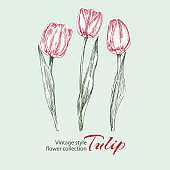 Spring flower tulips in red and green color on white background. Line engraving drawing illustration. Vintage style