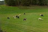 Grazing Lamas in Norway