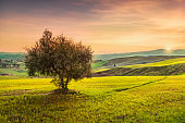 Volterra, countryside panorama and olive tree on sunset. Pisa, Tuscany Italy