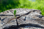 New sprout from an old tree. Bright green tender leaves break out of the cracks of a large beautiful stump. New life.