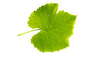 Green springtime grapes leaf cut out on a white background with clipping path.
