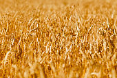 Golden field of ripened cereals, yellow wheat and rye. Harvest of bread