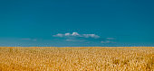 Golden field of ripened cereal, yellow wheat and rye against the blue sky