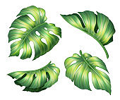 digital botanical illustration, tropical fresh green monstera leaves collection, wild jungle foliage, set of floral clip art isolated on white background