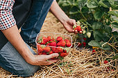 Farm worker picking strawberry in field