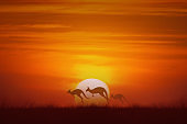 three kangaroo jumping at sunset background