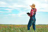 Female farmer agronomist using digital tablet computer in young green corn field