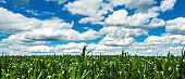 Cornfield under the blue sky with white clouds