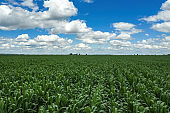 Drone photography, high angle view of green unripe corn crop field in summer