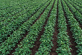 Rows of cultivated soybean crops in field
