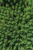 Drone photography, high angle view of green aspen tree forest