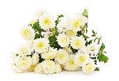 White beautiful chrysonthemum.
