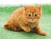 Little red kitten.