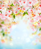 Beautiful pink and white cherry flowers