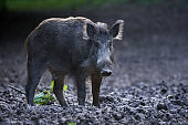 Large dominant boar in the forest
