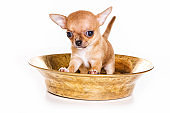 Cute ginger chihuahua puppy in a box (isolated on white)