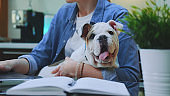 Close-up shot of a small bulldog sitting on woman's hands