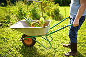 Farmer pushing wheelbarrow with freshly picked organic vegetables and salad in backyard. Healthy vegetarian food. Harvesting. Local business