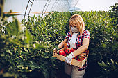 Picking tomatoes for my customers