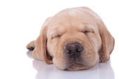 close up of a labrador retriever dog sleeping tired