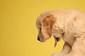 side view of adorable labrador retriever dog sticking out tongue
